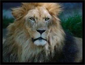 OMG-Lionb
