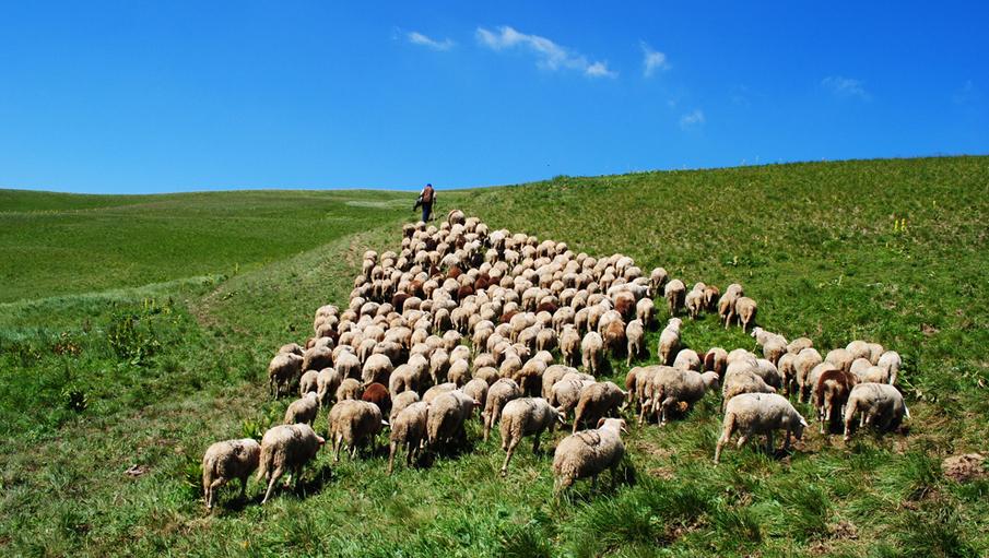 Sheep13