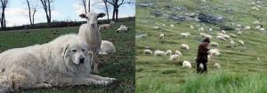 Sheep14